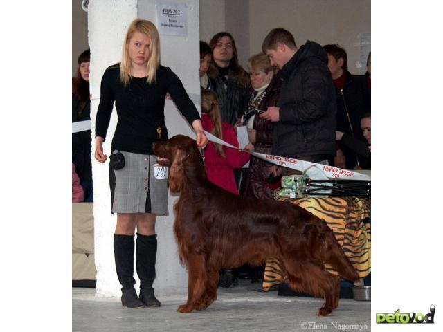 Собака. Ирландский сеттер. Продаю в Москве