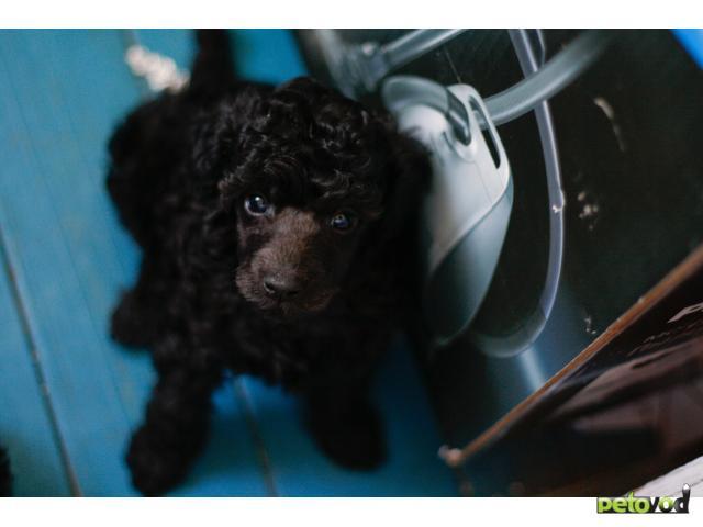 Собака. Пудель малый. Продаю в Омске