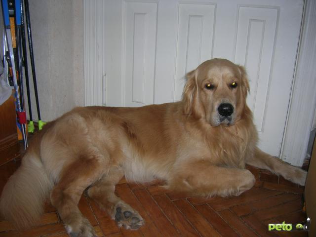 Собака. Золотистый (голден) ретривер. Вязка в Обнинске