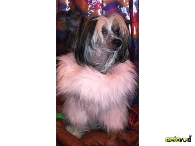 Собака. Китайская хохлатая собака . Продаю в Ижевске