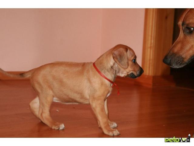 Собака. Родезийский риджбек . Продаю в Омске