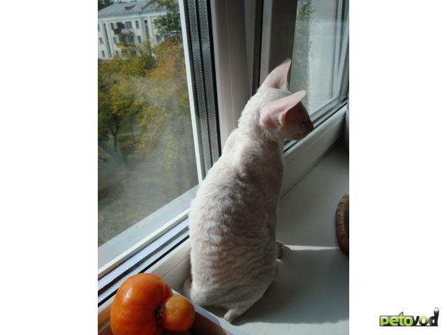 Кошка. Корниш-рекс. Продаю в Омске