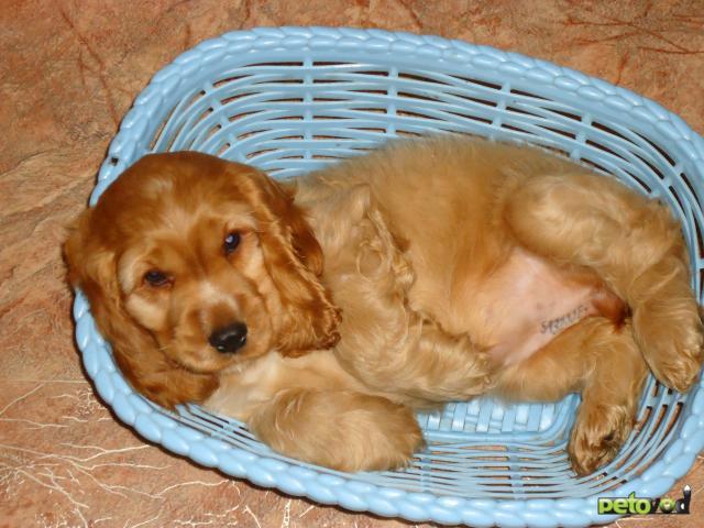 Собака. Английский кокер спаниель. Продаю в Хабаровске