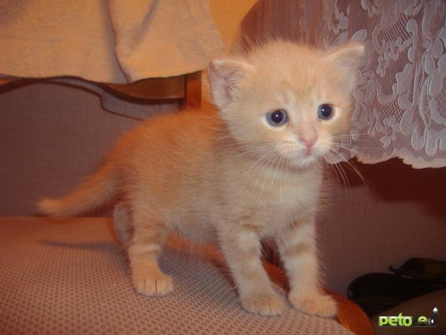 Кошка. Сибирская. Отдам в дар в Тюмени