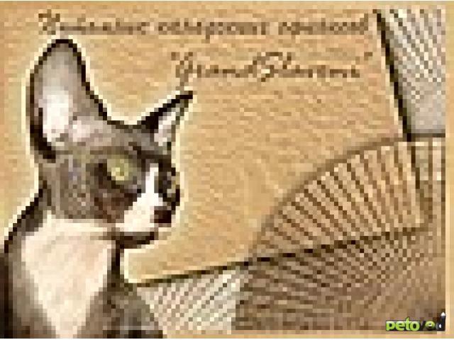 Кошка. Канадский сфинкс. Продаю в Омске