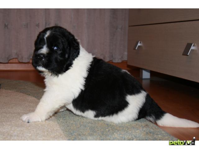 Собака. Ньюфаундленд. Продаю в Новосибирске