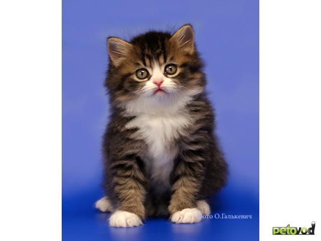 Кошка. Шотландская вислоухая (длинношерстная). Продаю в Омске