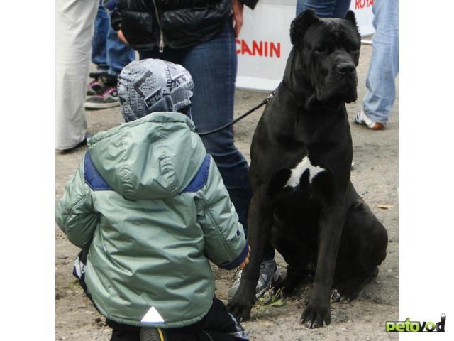 Собака. Кане корсо. Продаю в Барнауле