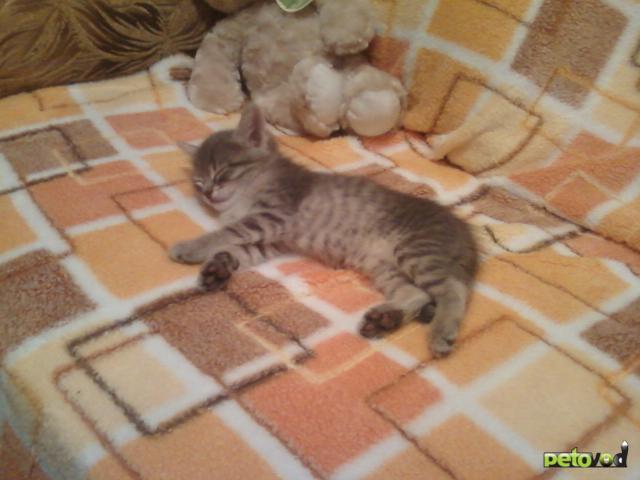 Кошка. Сибирская. Отдам в дар в Омске