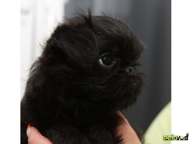 Собака. Бельгийский гриффон. Продаю в Новосибирске