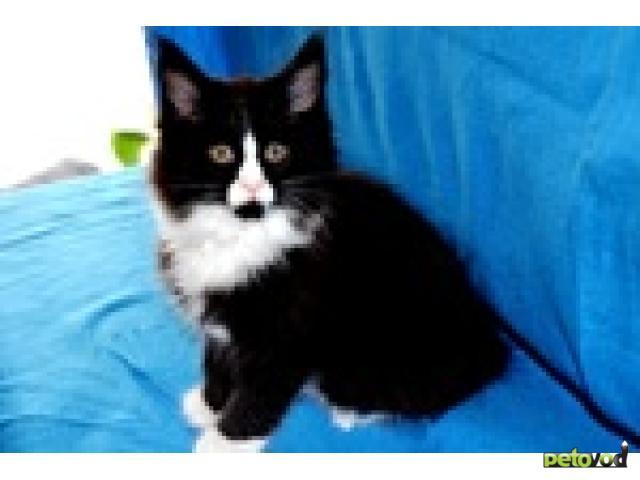 Кошка. Мэйн-кун . Продаю в Оснабрюке