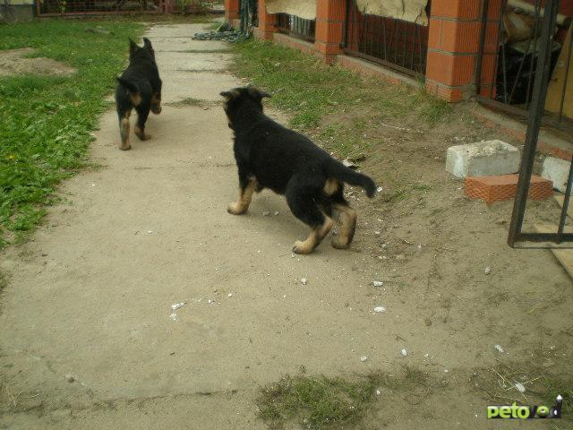 ...породистых щенков Немецкой овчарки.Девочки.Первый помет.Возраст 2 месяца прививки сделаны.
