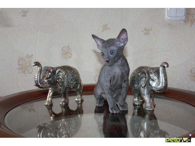 Кошка. Корниш-рекс. Продаю в Барнауле