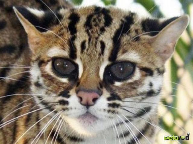 Распространённые породы кошек