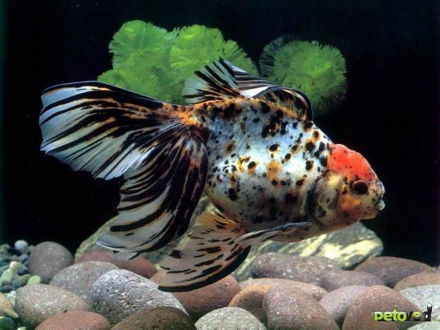 Болезни аквариумных рыбок.