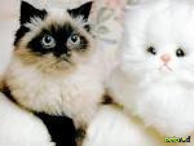 Основные окрасы кошек