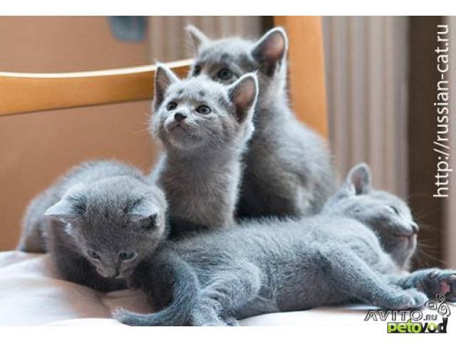 Элитные котята русской голубой кошки