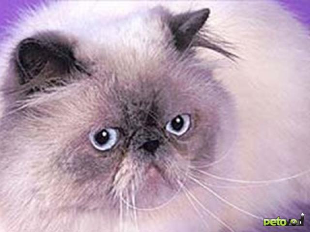 Длинношёрстные породы кошек