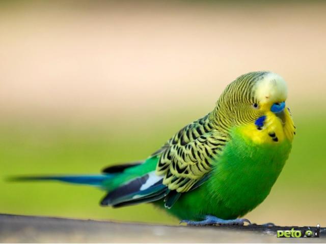 Где найти попугая