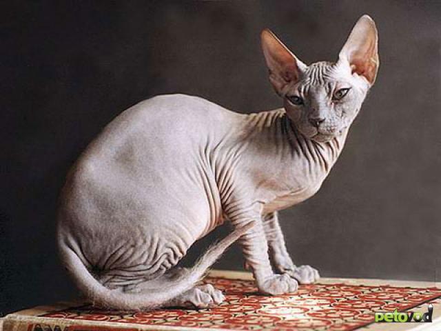 Голые породы кошек