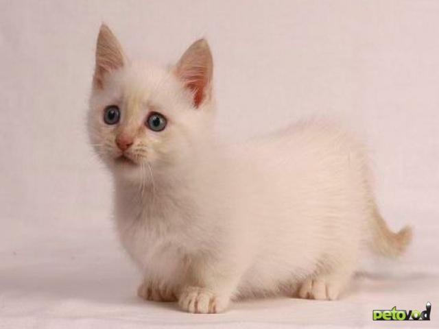 Малыши-карандаши – самые маленькие породы кошек.