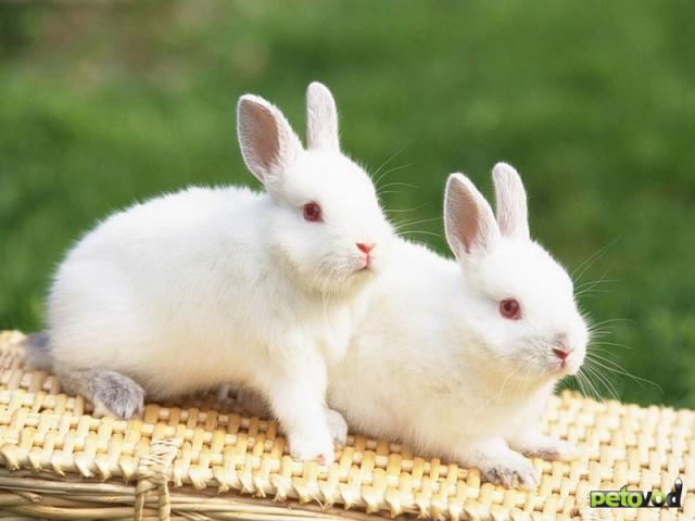 Содержание декоративного кролика в домашних условиях.