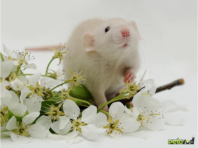 Содержание домашней крысы.