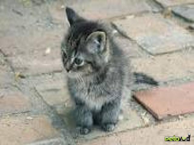 Породистый или беспородный котенок