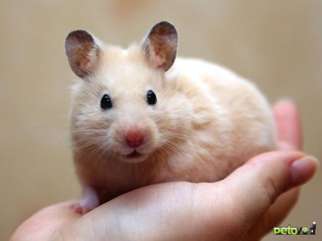 Содержание хомяков и декоративных мышей в домашних условиях.