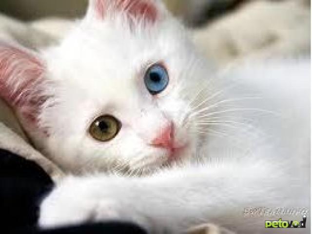 «Ой, а кто это у нас тут такой странный?» – или необычные породы кошек.