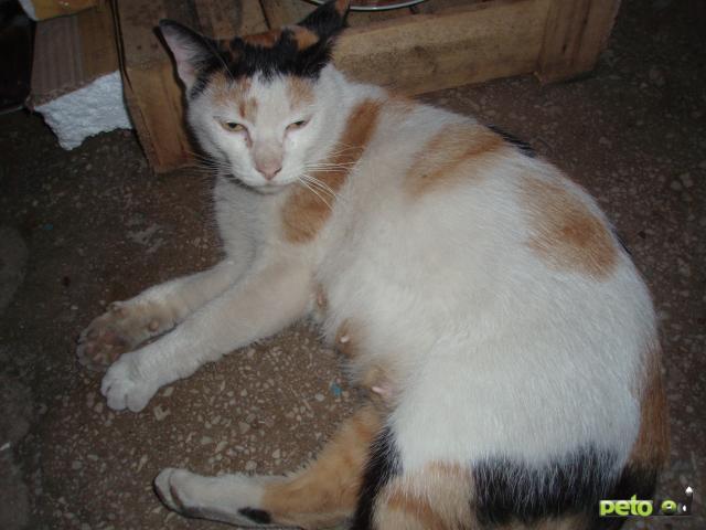 Кошка.  Беспородные и метисы . Отдам в дар в Хабаровске
