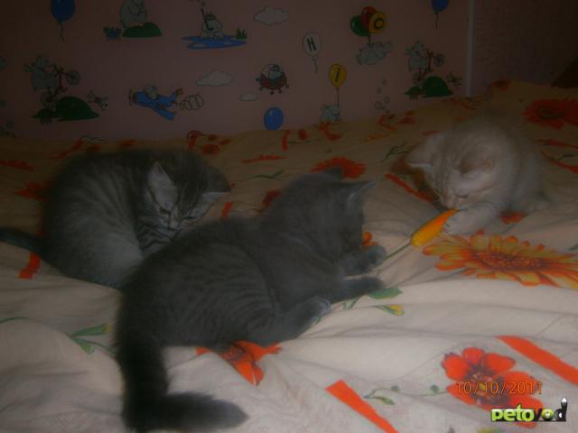 Кошка. Британская короткошерстная. Продаю в Саранске