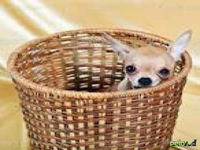Парад популярности карликовых собачек