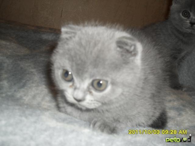 Кошка. Британская короткошерстная. Продаю в Омске