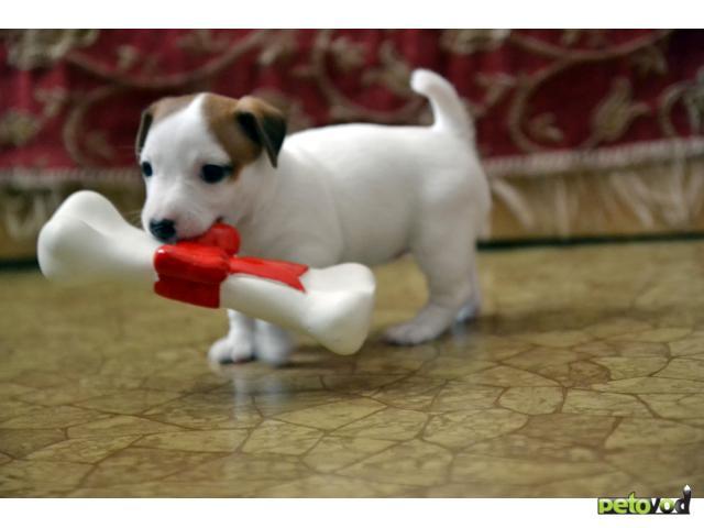 Собака. Джек Рассел терьер. Продаю в Омске