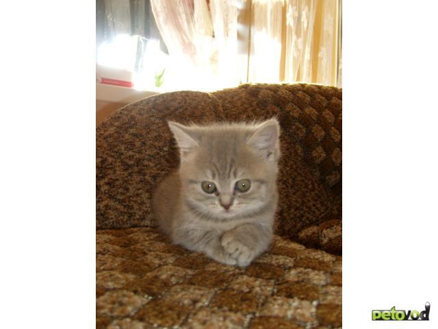 Кошка. Скоттиш-страйт. Продаю в Пятигорске