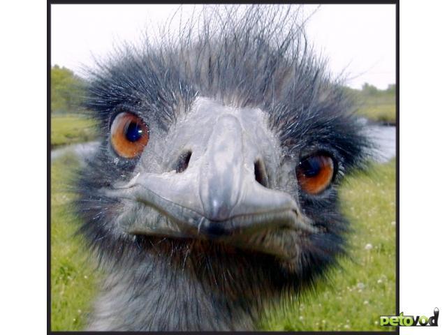 Русская домашняя птица страус
