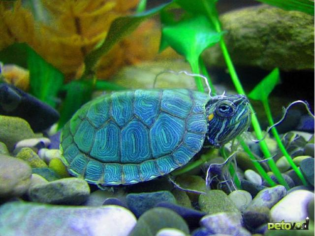 Выбор, уход и содержание красноухих черепах первые полгода.