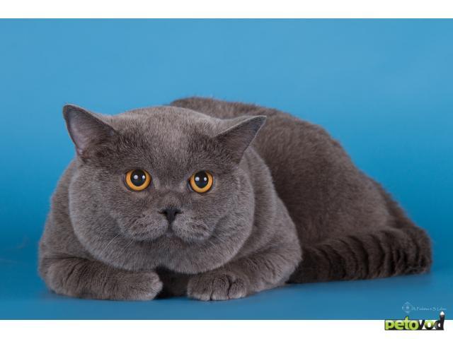Чистокровные британцы коты