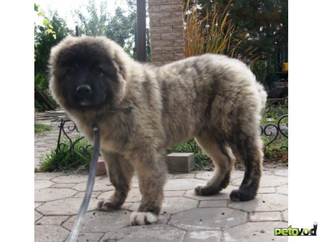 Купить щенка кавказская овчарка
