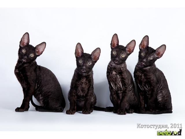 Доска ру Кошки, котята - Корниш-рекс, Цены, Продают