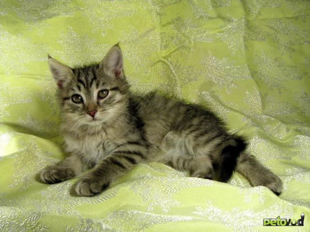 Метисы британских кошек фото