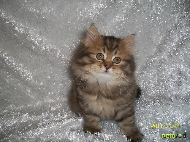 Шотландская вислоухая длинношерстная кошка