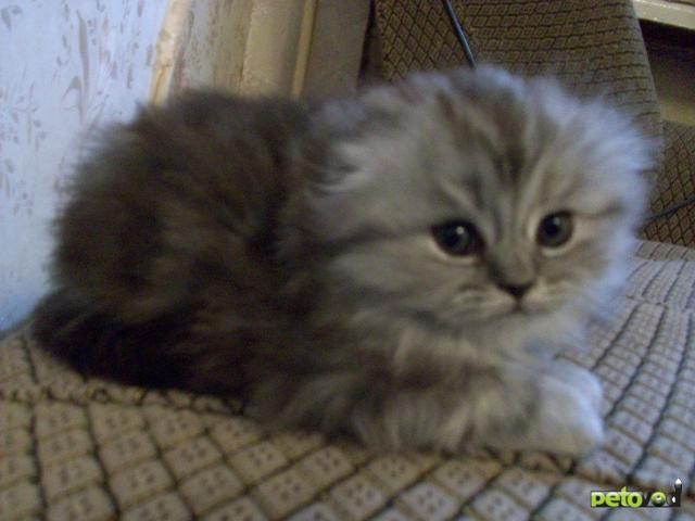 Фото вислоухих котов пушистых