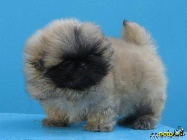 Пекинеса щенки продаются - есть крошки с ладошку и обычные .Все щенки