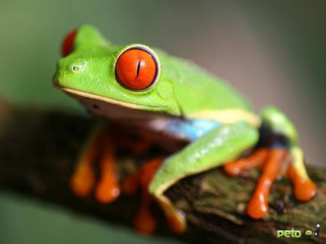 Содержание лягушек и жаб в домашних условиях.