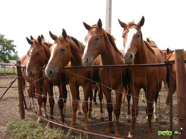 Буденовская порода лошадей.