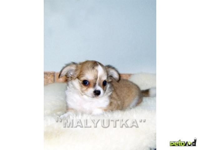 Собака чихуахуа продаю в москве