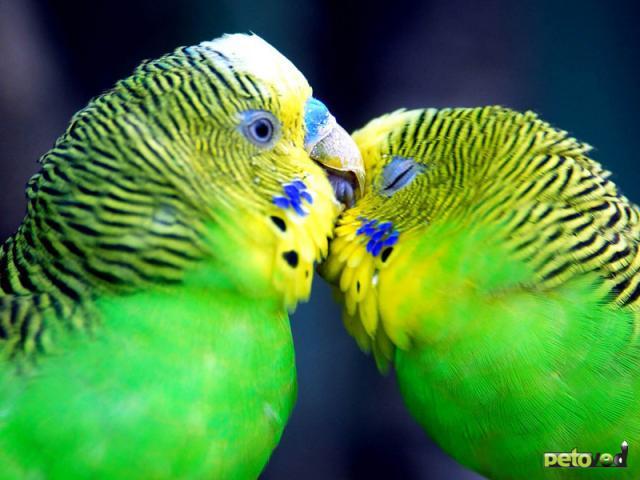 Как научить Вашего попугая разговаривать?
