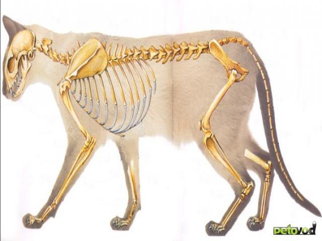 Особенности строения скелета и мышц кошки